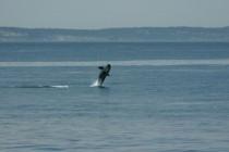 Orca, Orcas