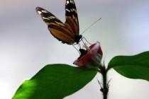 Manuel Antonio Butterfly