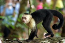 Costa Rican Capuchin
