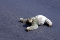 Costa Rica Road Sloth