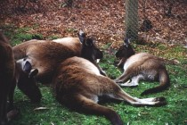Sleepy Kangaroos 2000